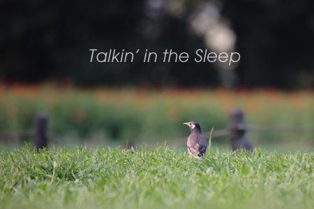 野鳥写真 ムクドリ